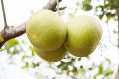 Grapefruit. Three grapefruit in garden background Stock Photo
