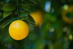 Grapefruit on Tree Royalty Free Stock Photography