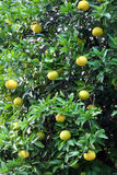 Grapefruit tree Stock Photography
