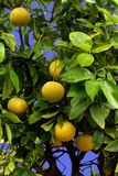 Grapefruit tree. Close up ripe grapefruit in tree with blue sky background Stock Images