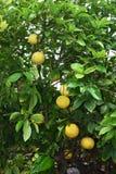 Grapefruit tree. Close up of ripe grapefruit on tree Stock Image