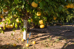 Grapefruit tree. In the field, some grapefruits fallen to the ground stock photo