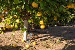Grapefruit tree Stock Photo
