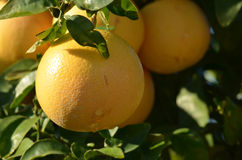 Grapefruit tree royalty free stock images