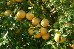 Grapefruit tree Stock Photos