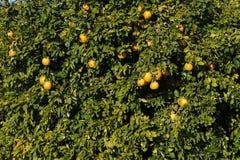 Grapefruit tree with fresh grown Grapefruits. Stock Photography