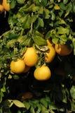 Grapefruit tree with fresh grown Grapefruits. Stock Photos