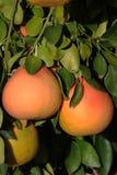 Grapefruit tree with fresh grown pink Grapefruits. Stock Photography