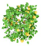 Grapefruit tree with grapefruits isolated on white. top view stock illustration