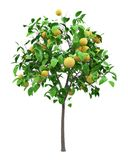 Grapefruit tree with grapefruits isolated on white vector illustration