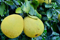Grapefruit on tree. Grown up grapefruit on tree, shown as agriculture concept or raw, fresh and healthy fruit Stock Photo