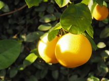 Grapefruit on tree Royalty Free Stock Images