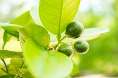 Grapefruit Tree Royalty Free Stock Image