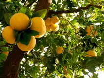 Grapefruit Tree. When taking a walk in Burbank, California, I came across this beautiful grapefruit tree with ripened fruit stock photo