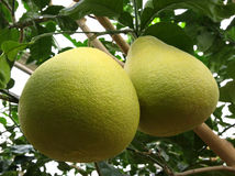 Grapefruit on tree Stock Images
