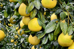 Grapefruit on trees. Grapefruit on tree, shown as agriculture concept or raw, fresh and healthy fruit Stock Images
