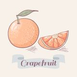 Grapefruit vector illustration Stock Images
