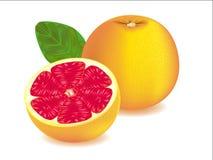 Grapefruit. Vector illustration . Grapefruit on white background Stock Photos