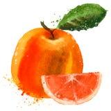 Grapefruit vector logo design template. fruit or Stock Photos