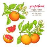 Grapefruit vector set Stock Images