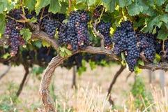 Grapefruit vineyard royalty free stock images