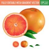 Grapefruit on white background. Vector illustration Stock Photography