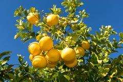 Grapefruitboom met Clusters van Grapefruits stock afbeelding