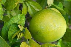 grapefruitowy drzewo Zdjęcia Royalty Free