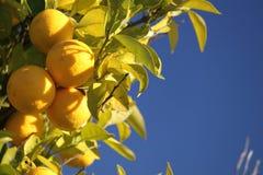 grapefruitowy drzewo obraz royalty free