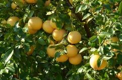 Grapefruitowy drzewo Zdjęcia Stock