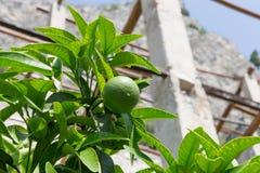 Grapefruitowy drzewo Fotografia Stock