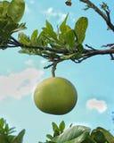Grapefruitowy obwieszenie na grapefruitowym drzewie fotografia stock