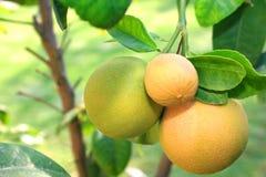 Grapefruits. Three grapefruits on the tree Royalty Free Stock Photos