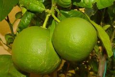 grapefruits fotos de stock