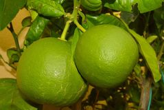 grapefruits Stock Foto's