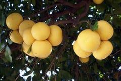 grapefruits fotografia stock