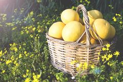 Grapefruits in a basket at the garden. royalty free stock photography