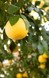Grapefruits Hanging From a Tree Royalty Free Stock Image