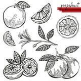 Grapefruits set Stock Photography
