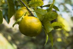 Grapefruits on tree Royalty Free Stock Photography