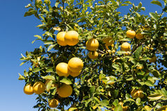 Grapefruit clusters. Grapefruits in a tree against the blue sky stock photo