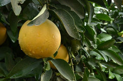 Grapefruits tree Stock Photo
