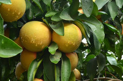 Grapefruits tree. With fresh grapefruits after the rain Stock Image