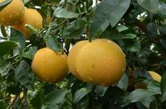 Grapefruits tree Stock Photo