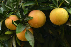 Grapefruits tree Stock Photos