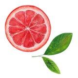 grapefrukt och två sidor royaltyfria bilder