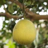 grapefrukter Arkivfoton