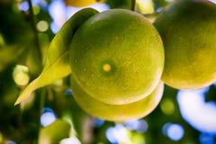 Grapefrukter som växer på trädet Royaltyfria Foton