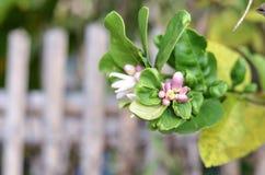 Grapefrukts blomning Royaltyfria Foton