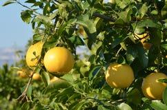 Grapefruktträd royaltyfria bilder